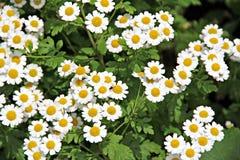 Summer daisies Royalty Free Stock Image