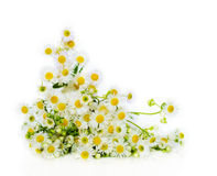 Summer daisies. Summer bouquet of daisies on a white background stock photography
