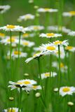 Summer daisies Stock Photo
