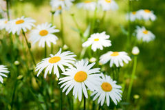 Summer daisies Royalty Free Stock Image