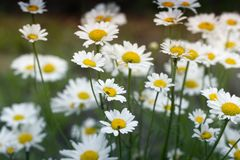 Summer Daisies. Beautiful nature scene with blooming medical chamomilles. Alternative medicine. Camomile Spring flower background Beautiful meadow stock photo