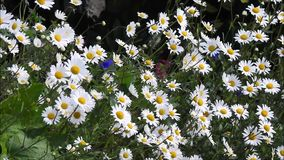 Summer daisies blowing in the gentle breeze wind. Video of pretty delicate summer daisies blowing in the gentle breeze wind in a kent meadow june 2018 stock video