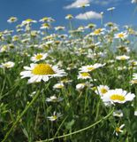 Summer daisies field. Summer daisies under the blue sky Stock Photography