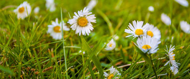 Summer Daisies in green grass field. Daisies at the height of summer in green meadow field in Hastings Alexander Park Royalty Free Stock Photos