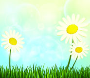 Summer. Daisies in the green grass. Vector illustration Stock Images