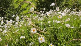 Summer daisies meadow blowing in the wind, hd footage. Summer daisies meadow blowing in the wind, close up hd footage stock video