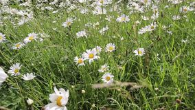Summer daisies meadow blowing in the wind, hd footage. Summer daisies meadow blowing in the wind, close up hd footage stock footage