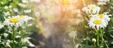 Summer daisies in sunlight background with bokeh, banner for website Royalty Free Stock Images