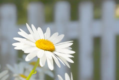 Summer Daisy. Shasta daisy in front of a white picket fence in the summertime garden royalty free stock photo