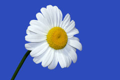 A Summer Daisy. Oxe eye daisy on a blue sky summer day royalty free stock images