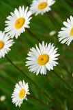Summer daisy Royalty Free Stock Photo