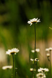 Summer daisy Stock Photos
