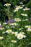 Summer Daisy Background Royalty Free Stock Photo