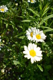 Summer Daisy Stock Images