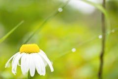 Summer daisy flower Stock Photo