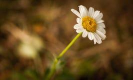 Summer daisy flower Stock Images