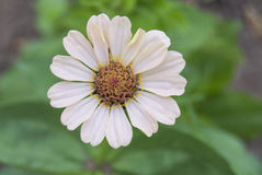 Summer daisy Stock Image