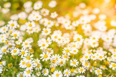 Summer daisy flowers under sunlight. Inspirational and relaxational flowers design. Beautiful summer flowers and meadow and calm nature background under sunlight royalty free stock photos