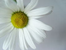 Summer daisy white. Closeup of a marguerite Stock Photos