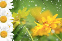 Summer, Daisy, Yellow Flower Background Royalty Free Stock Photo