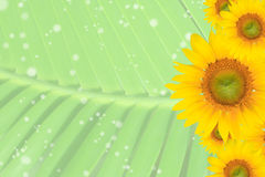 Summer, Daisy, Yellow Flower Background Royalty Free Stock Photography