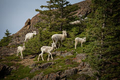 Summer Dall Sheep. Dall Sheep sit on a cliff overlooking Turnagain Arm near Anchorage Alaska Stock Photos