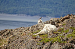 Summer Dall Sheep. Dall Sheep sit on a cliff overlooking Turnagain Arm near Anchorage Alaska Stock Images