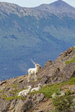 Summer Dall Sheep. Dall Sheep sit on a cliff overlooking Turnagain Arm near Anchorage Alaska Stock Image