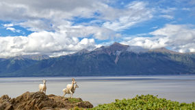 Summer Dall Sheep. Dall Sheep sit on a cliff overlooking Turnagain Arm near Anchorage Alaska Royalty Free Stock Image