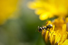 Summer Dandelion Ant Royalty Free Stock Images
