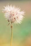 A summer dandelion Royalty Free Stock Photography
