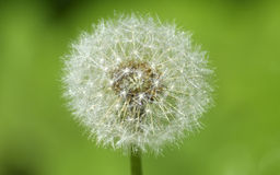 Summer dandelion in drops of morning dew Stock Images