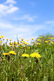 Summer dandelion field Stock Image