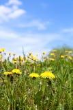 Summer dandelion field Stock Image