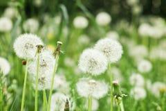 Summer dandelion seeds stock photo
