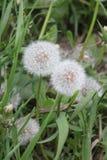 Dandelions in green grass stock image