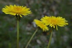 Summer dandelions stock photos