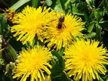 Summer dandelions. On yellow dandelions the bee collects nectar Royalty Free Stock Image