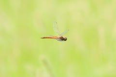Summer Darter in flight Stock Images