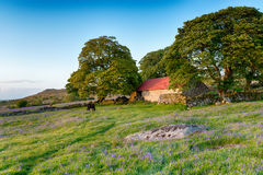 Summer on Dartmoor. Dartmoor ponies grazing in a bluebell meadow by an old red roofed barn Royalty Free Stock Image