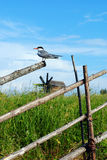 Tern on the fence Stock Images