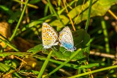 Summer day, butterflies mating in the meadow stock image