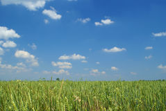 Summer day on field (focus on grass). Landscape. Summer day on field (focus on grass Stock Images
