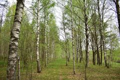 Summer day in the forest is very beautiful neatly arranged on the branches of green leaves. Picturesque and beautiful birch forest stock image