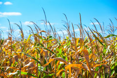 Summer day highlights the agricultural field, which is growing in neat rows, high, ripe, yellow, sweet corn. Royalty Free Stock Images
