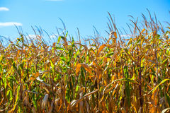 Summer day highlights the agricultural field, which is growing in neat rows, high, ripe, yellow, sweet corn. Royalty Free Stock Photo