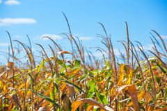 Summer day highlights the agricultural field, which is growing in neat rows, high, ripe, yellow, sweet corn. Background. The family of cereals and grain crops Royalty Free Stock Images