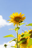 Summer day landscape with sunflower blue sky white clouds background. Royalty Free Stock Photo
