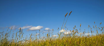 Summer Day,  long grass swaying in wind, meadow, blue sky. Royalty Free Stock Images