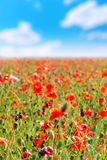 Summer day in  meadow full of blooming poppies Royalty Free Stock Images
